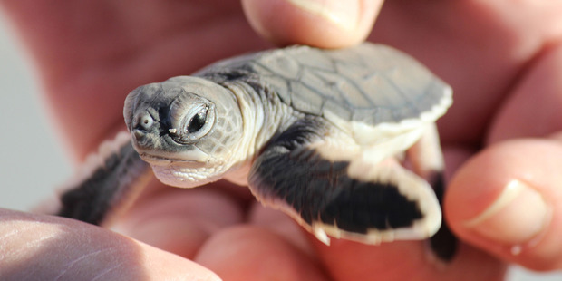 A green turtle hatchling, rescued from seagulls, Heron Island Queensland. Photo / Rod Emmerson