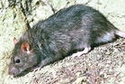 More Norway (brown) rats are likely to be seen after recent rain.