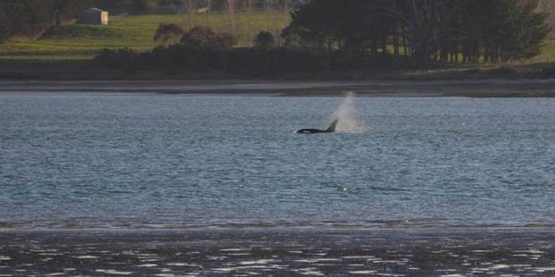Around a dozen or so orcas came into the Waiuku Channel, just south of Clarks Beach, around 5pm yesterday.