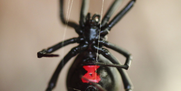 Black Widow Spider. Photo / Thinkstock
