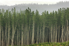 An estimated 40 per cent of New Zealand forestry exports are generated from 14,000 individually owned forests. Photo / NZ Herald