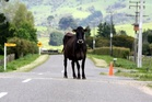 Animals on roads have been the cause of a spate of accidents in Waikato.
