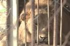 The Al Bisan zoo in Gaza has been almost completely destroyed over the past month during the conflict with Israel. Many animals were killed, and those that remain are living in filth with the dead bodies of their former cage mates.