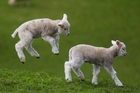Spring lambs enjoying the warm weather at Cornwall Park yesterday. Photo / Jason Oxenham