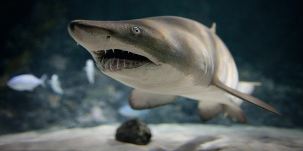 Sharks have only a passing interest in the humans invading their space at Kelly Tarlton's. Photo / Kelly Tarlton's Underwater World