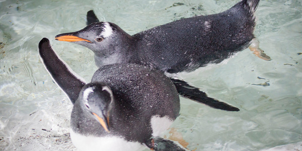 Penguin chicks at Kelly Tarlton's in Auckland. Photo / NZH