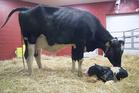 150 calves are born at the farm every day. Photo / Farmhouse Restaurant