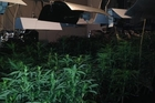 A police blitz in the Far North netted this haul of cannabis plants.