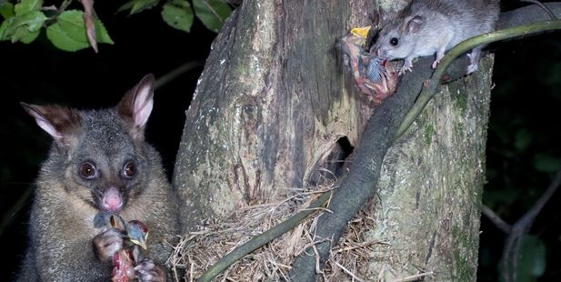 Possum and rat predators. Photo / Nga Manu Images