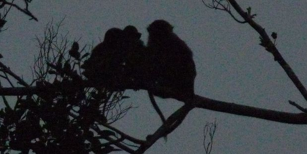 Macaque monkeys settle down for the night in trees along the Klias River. Photo / Jim Eagles