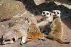 Four baby Meerkats stay close to their dad Ndulu at the Auckland Zoo. Photograph by Richard Robinson.