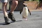 Munro the Fiordland penguin. Photo / Taronga Zoo