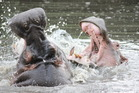 A pair of play fighting hippos in the Serengeti National Park, Tanzania. Photo / Jason Parmenter