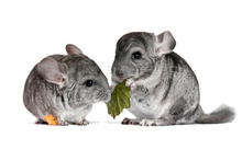 A pair of young chinchillas. Photo / Thinkstock
