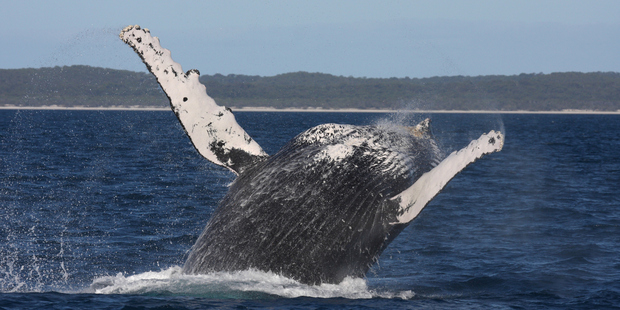 Head to the Hervey Bay Whale Festival mid-year. Photo / Thinkstock