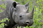 The auction of a permit to kill an endangered black rhino has sparked controversy. Photo / Getty Images