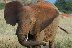 """Male elephants """"on musth"""" become aggressive. Photo / AP"""