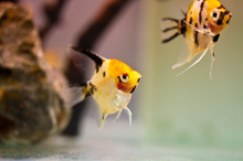 Angelfish could be a part of your tropical tank. Photo / Thinkstock