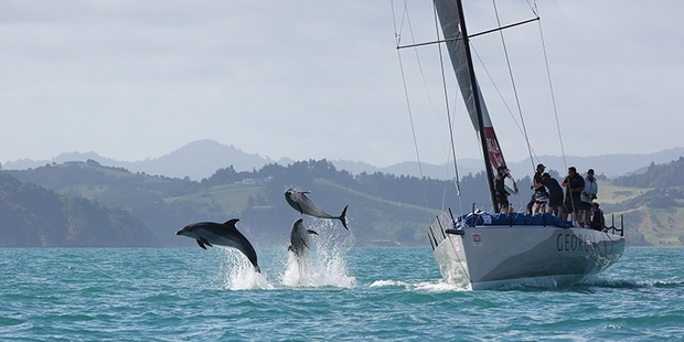 PLAYFUL: Dolphins take to the air as they swim past the keeler Georgia during Bay of Islands Sailing Week. PHOTO/WILL CALVER OCEANPHOTGRAPHY