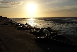 Project Jonah volunteers caring for whales on the beach at Farewell Spit. Photo / Project Jonah