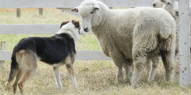 Dogs have been attacking sheep in Poraiti.