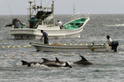 Fishermen drive bottle-nose dolphins into a net during their annual hunt off Taiji, Japan. Photo / AP
