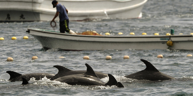 More than 250 bottlenose dolphins have been rounded up since last weekend. Photo / AP