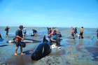 DOC staff and volunteers tend to the pilot whales stranded at Farewell Spit. Picture / Jo Richards