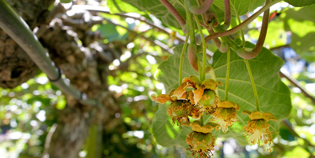 ANXIOUS:The kiwifruit industry is awaiting results from fruit fly traps.