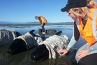 Project Jonah volunteers care for stranded whales on Farewell Spit. Photo / Project Jonah