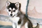 SCAM: A Tauranga couple was left out of pocket by a scam when they tried to buy an alaskan klee kai puppy, similar to this one, online.