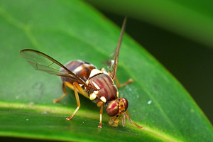 The offending fly. Photo / MPI