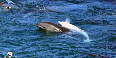 The rare albino bottlenose dolphin is worth millions to the marine entertainment industry. Photo / Sea Shepherd