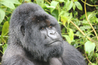 Munyinya - one of the three largest silverback mountain gorillas in the world - weighs in at over 230kg. Photo / Sandy Kilgour