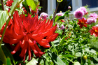 Our great-grandparents swapped flowers such as dahlias that they had too many of with friends and family for plants they needed. Photo / Meg Liptrot