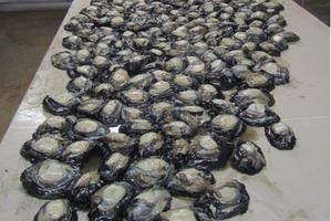 Some of the 867 paua recovered. Photo / MPI