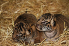 The new tiger cubs at Hamilton Zoo. Photo / Supplied