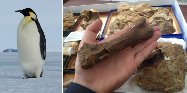 Dr Daniel Thomas holds a thigh bone from the fossil penguin which would have stood 30cm taller than an emperor penguin today (left).