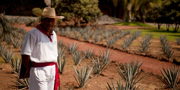 The green mountain valleys surrounding Tequila are spotted with fields of blue agave, the plant  fermented to make the drink.  Photo / AP
