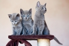 Russian blue kittens are among the breeds scammers claim to be selling. Photo / Hagen Hopkins