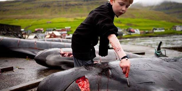 A Faroe Islands child cutting up a pilot whale. Photo / Sea Shepherd Conservation Society