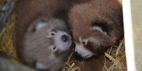 The Nepalese red panda twins at Auckland Zoo. Photo / Auckland Zoo