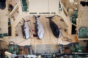 Three dead minke whales lie on the deck of the Japanese whaling vessel Nisshin Maru, in the Southern Ocean. Photo supplied by Sea Shepherd