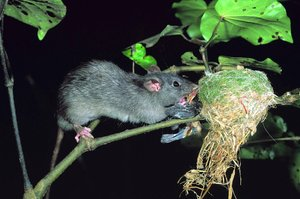 "A ""plague"" of an additional 30 million rats is expected this year. File photo / NZ Herald"