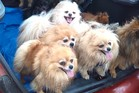 A pack of Pomeranian dogs was rescued from a locked car at South Beach today.