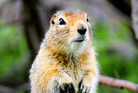 An Arctic ground squirrel. Photo / Getty Images