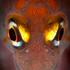 Notoclinops yaldwyni (Yaldwyn's triplefin). Photo / Richard Robinson