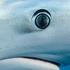 Prionace glauca (Blue Shark). Photo / Richard Robinson