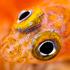 Notoclinops caerulepunctus (Blue-dot triplefin). Photo / Richard Robinson
