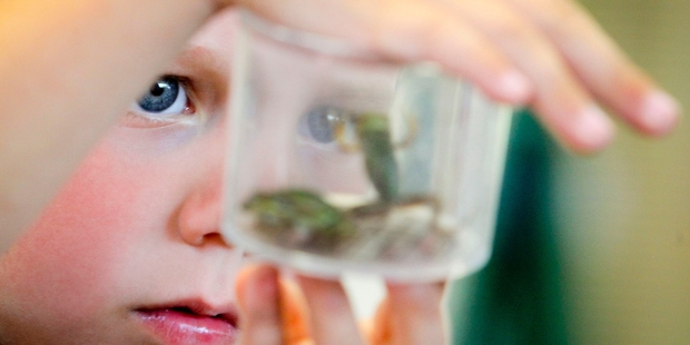 Hereworth School new entrant Ralph Absalom, 5, gets up close and personal with some frogs on his first day at school. Photo/Warren Buckland